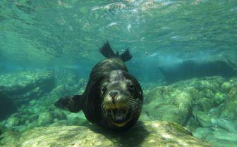 Sea Lion, Baja