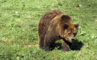 Grizzly Bear, Romania