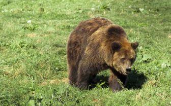 Grizzly Bear, Romania