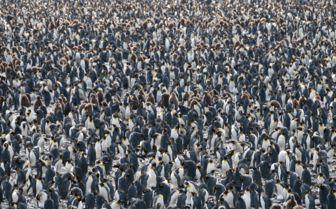 King Penguins, Salisbury Plain