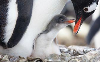Penguin Chick, Antarctica