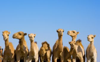 Camels in the Desert, Abu Dhabi