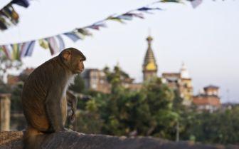 Monkey, Nepal
