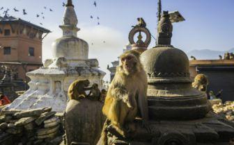 Monkey's in Nepal