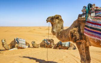 Desert Camels, Tunisia