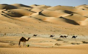 Desert Camels, Dubai