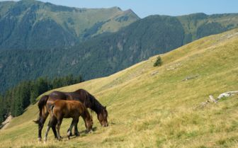 Horses, Transylvania