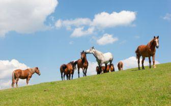 Wild Horses, Transylvania