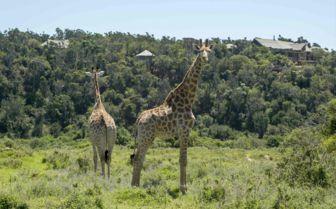 Giraffe, Settler's Drift