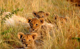 Lion Cubs, Settler's Drift