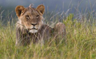 Lioness, Settler's Drift