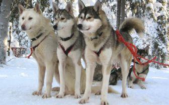 Husky Dogs, Lapland