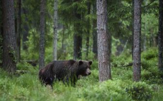 Bear in Estonia