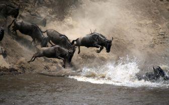 Jumping Wildebeest, Kenya