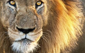 Lion Face, Kenya