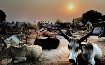 Dinka Cattle, Sudan