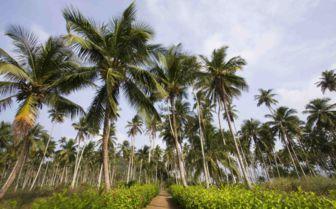 Palm Trees, Sao Tome and Principe