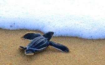 Turtle on the Beach, Sao Tome