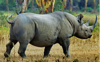 Black Rhino in Ngorongoro Conservancy