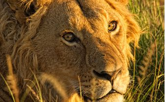 Lion in Ngorongoro Conservancy