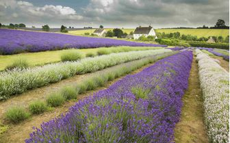 An image of a Lavender field
