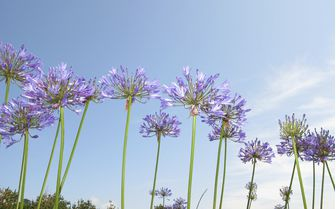 A picture of agapanthus flowers on the Isles of Scilly