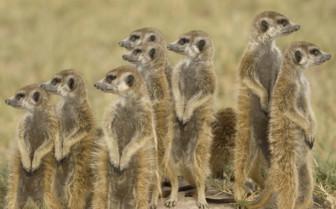 Meerkats at the camp