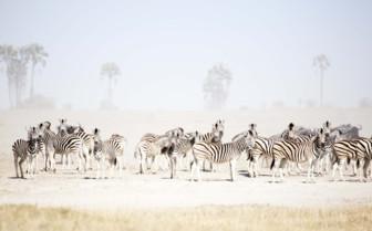 Zebras at the camp exterior