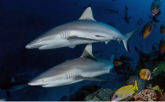 alphonse_reef_shark