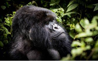 BisateLodge_gorilla