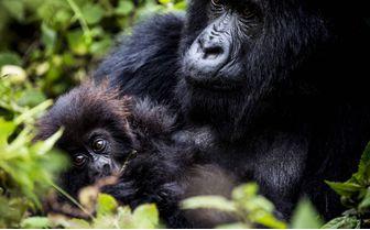 BisateLodge_gorilla_baby_with_mum