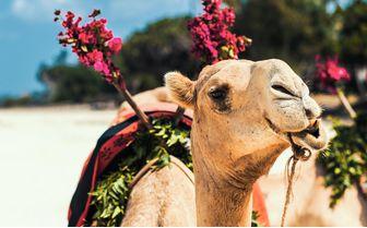 Alfajiri-camel-rides