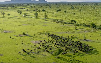 Selous_buffalo_from_the_air