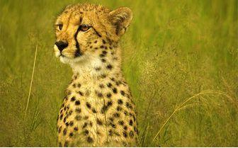 somalisa_cheetah_close_up
