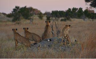 somalisa_cheetahs