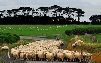 wharekauhau_sheep_farming