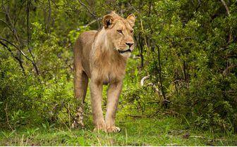 kings_pool_lion