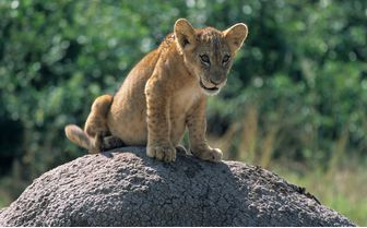 lion cub queen elizabeth national park