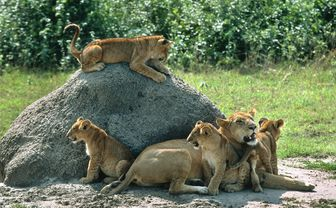 lion pack queen elizabeth national park