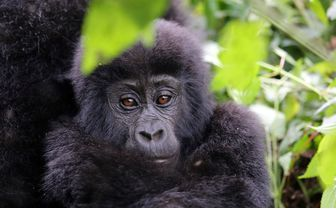 mountain gorilla close up