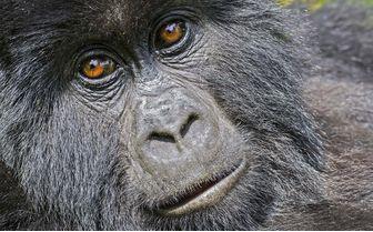 mountain gorilla face detail