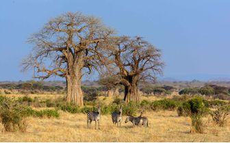 baobab tree zebra