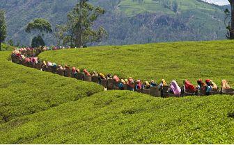 tea pickers walking with baskets