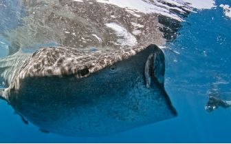 Snorkelling with whale sharks, Los Cabos
