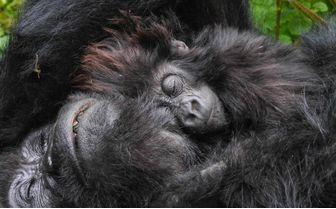 mountain-gorillas-cuddling