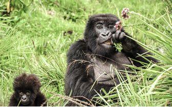 sabyinyo gorillas eating thistles