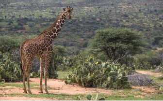 Reticulated Giraffe at Louisaba tented camp