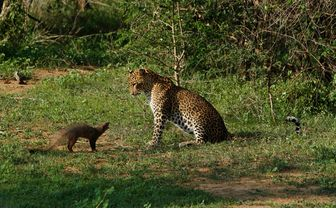 Leopard and skunk