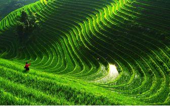Rice Paddy, China
