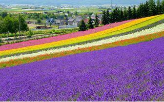 Multicoloured Flower Fields